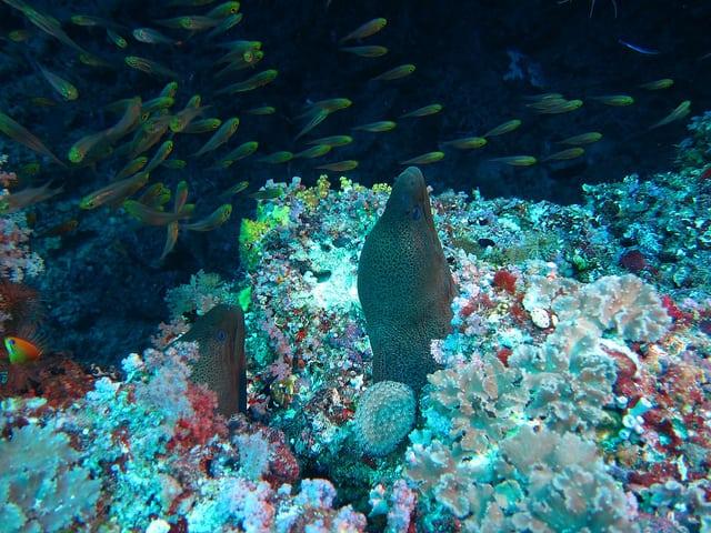 Two giant morays, Baa Atoll